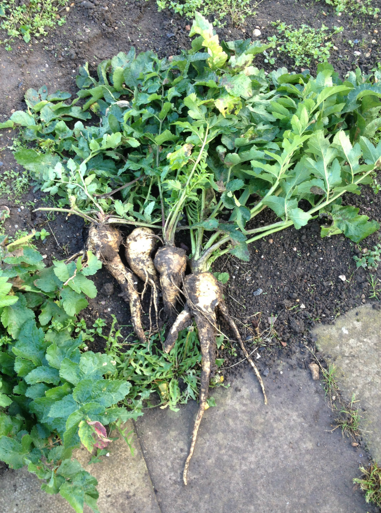 parsnips midwinter