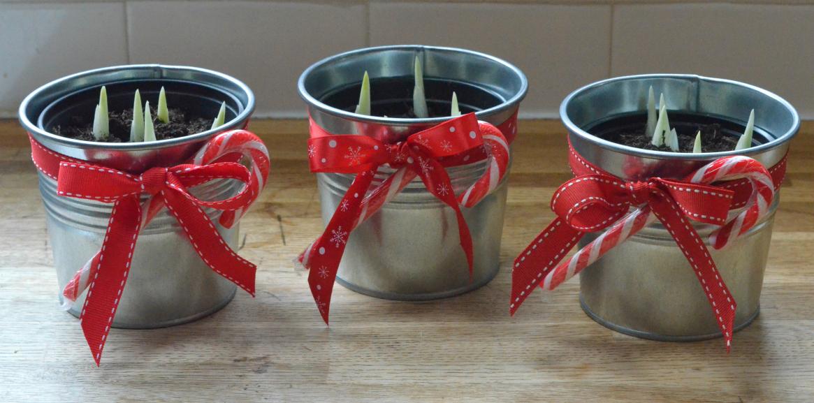 Christmas iris pots