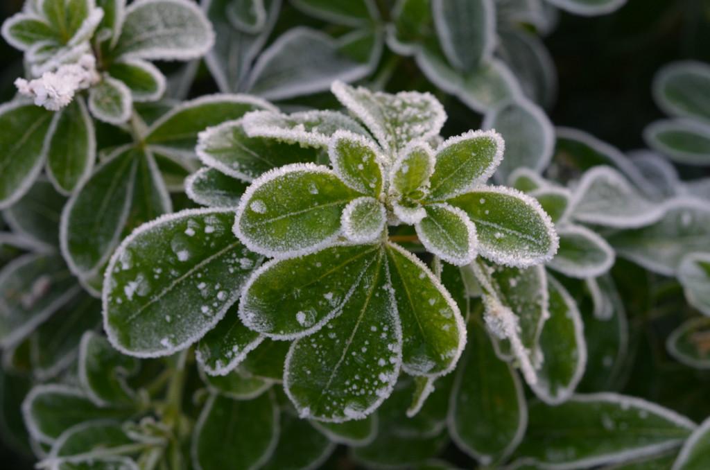 choisya frost