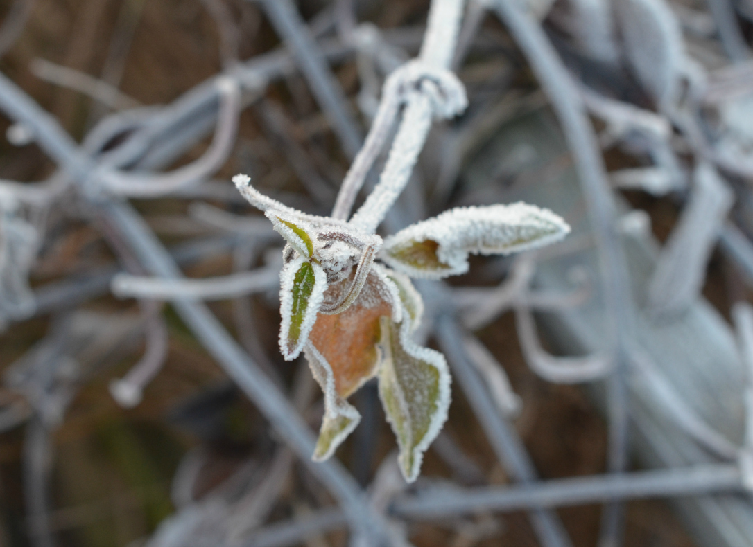 clematis frost