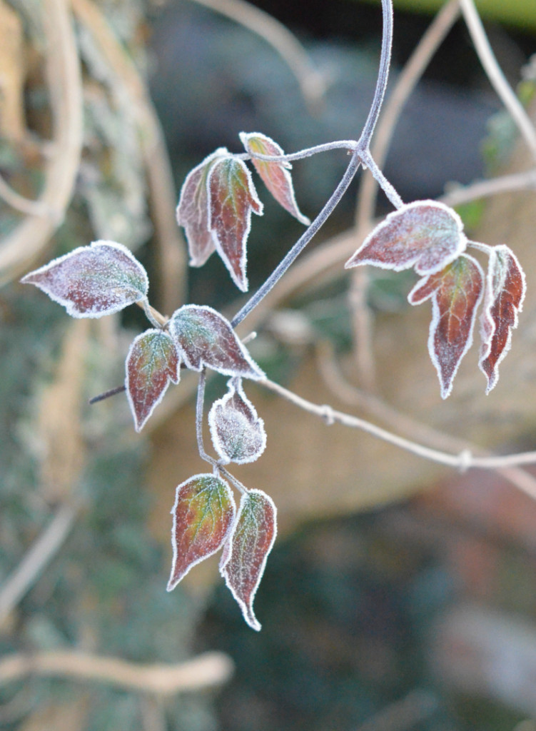 clematis leaves covered with frost