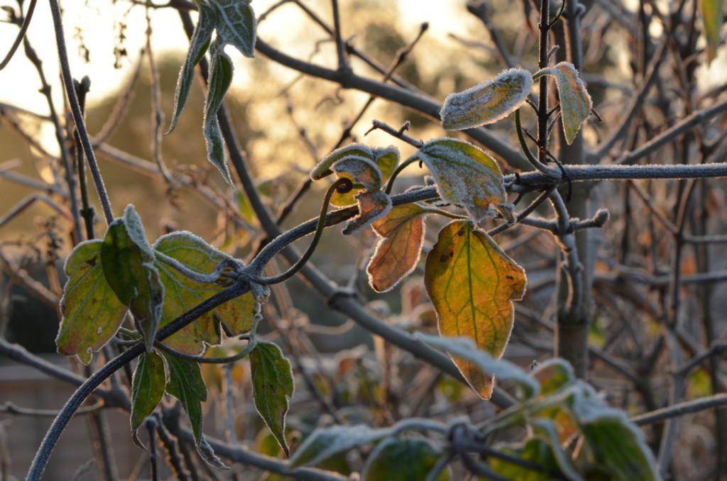 frosty tree with sunshine