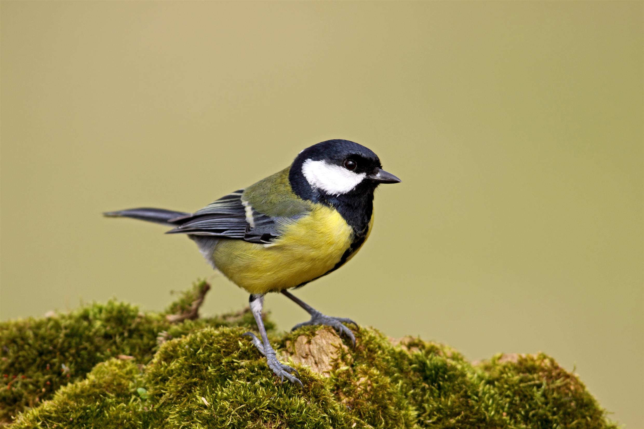 RSPB great tit