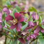 hellebore spring plants