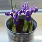 miniature iris