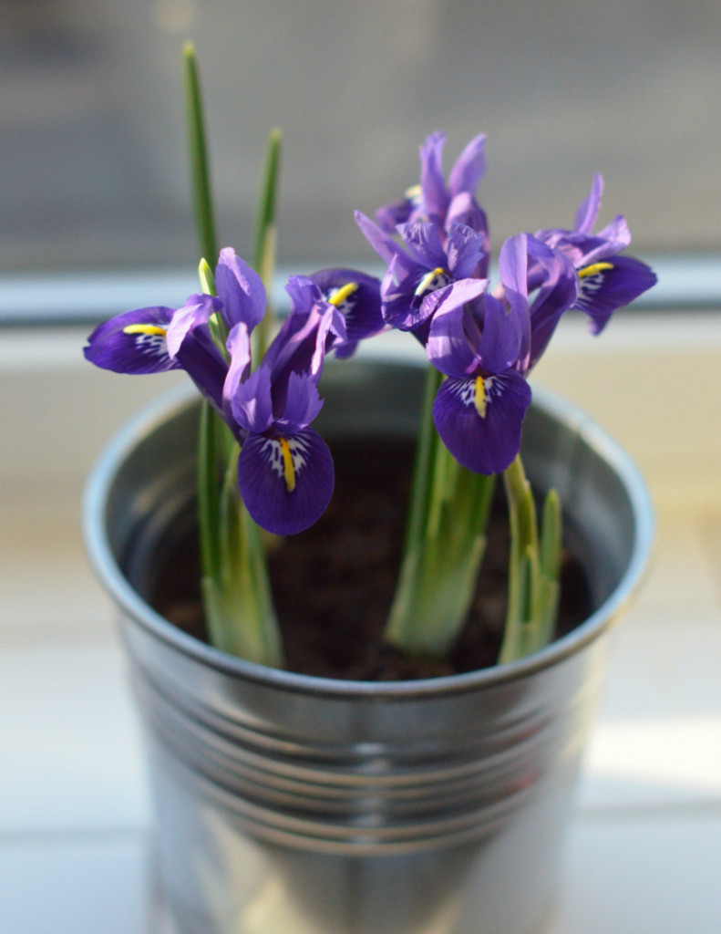 miniature iris flowers