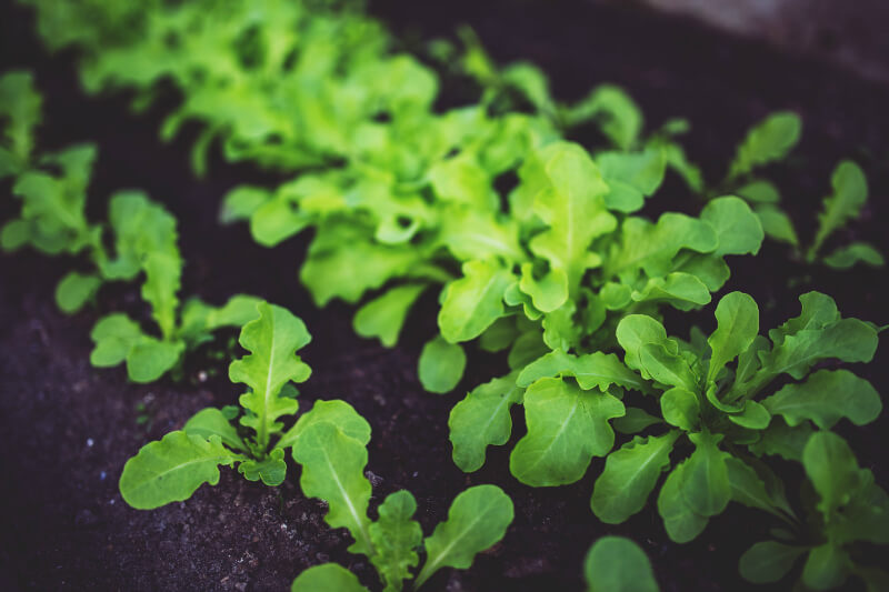 what to plant in january winter salad