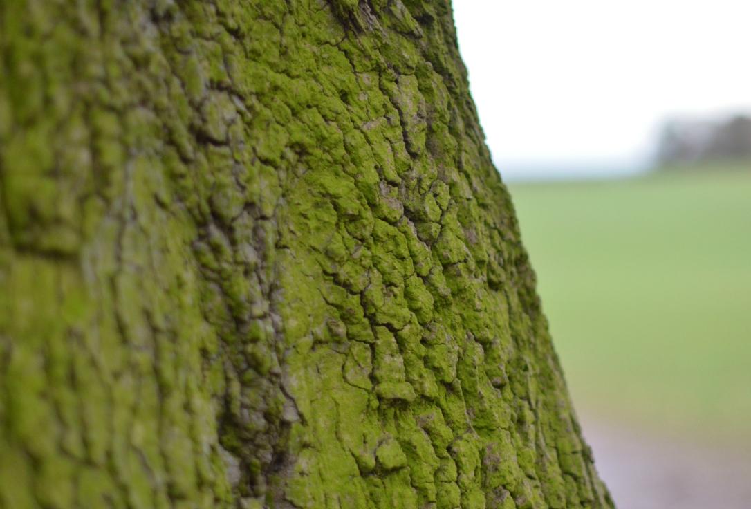 mossy trunk