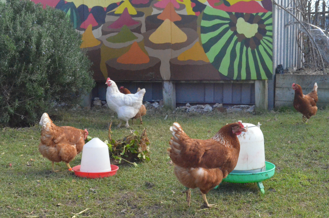 community garden chickens
