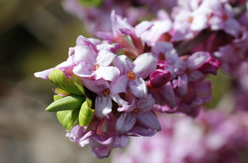 daphne odora aureomarginata is a great plant for adding late winter colour to the garden