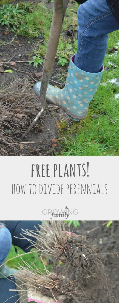 Early spring is the perfect time to divide perennial plants before the growing season gets going. Here's how to easily make yourself new, free plants!