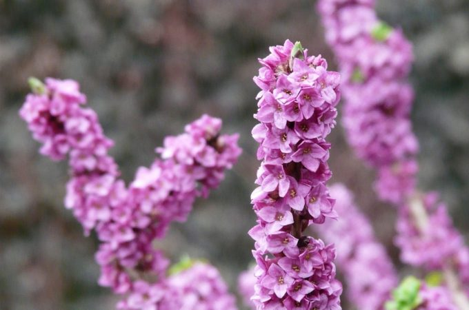 good plants for your late winter garden - daphne odora