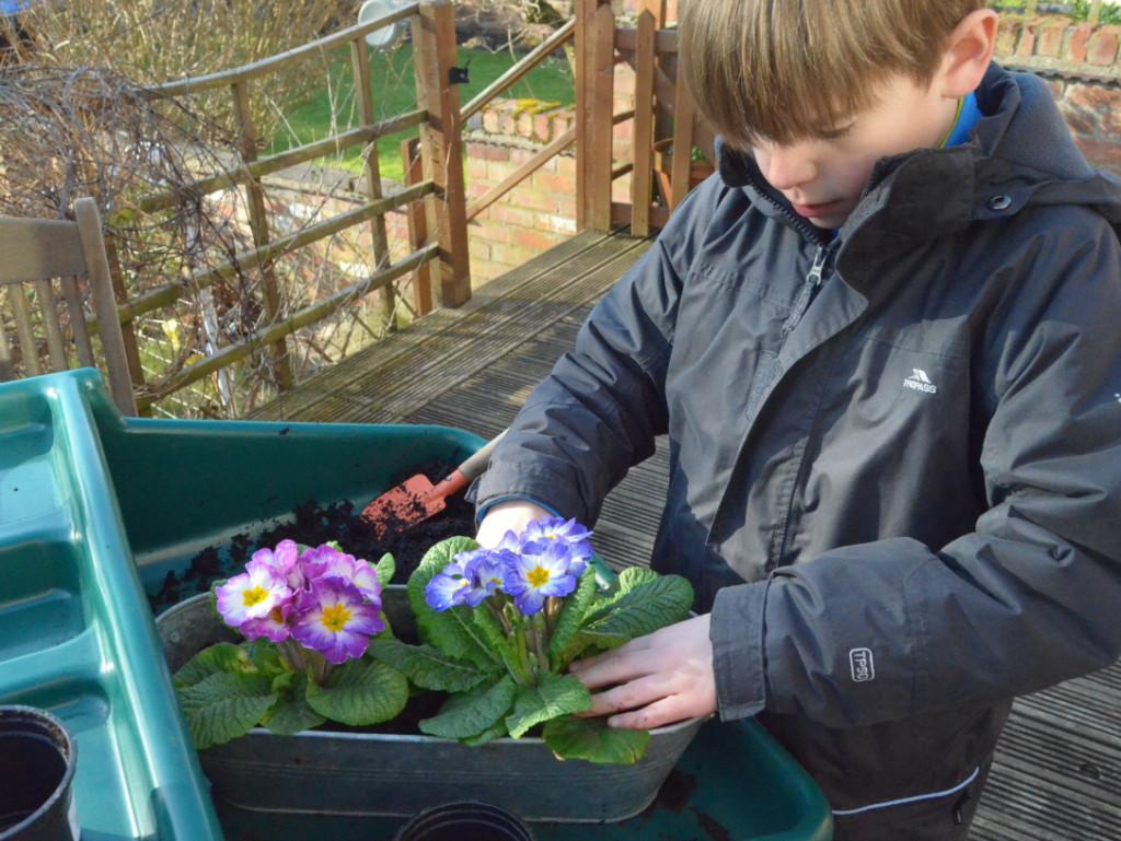 planting primroses