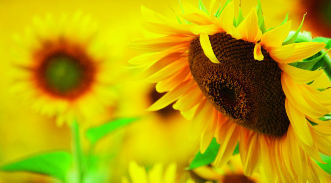 2015 – Year of the Sunflower