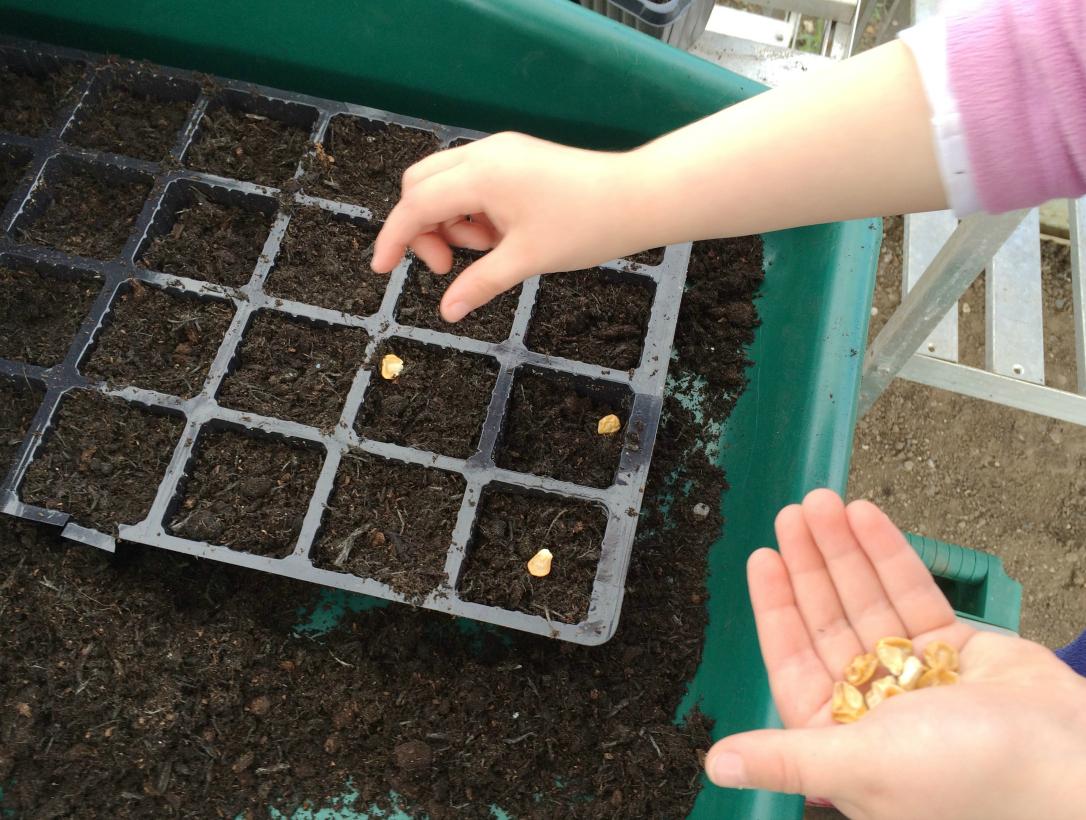 Planting sweetcorn