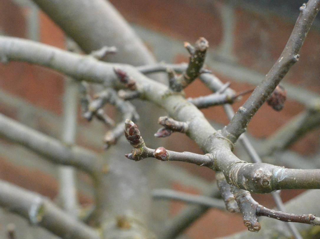 Spring buds apple tree
