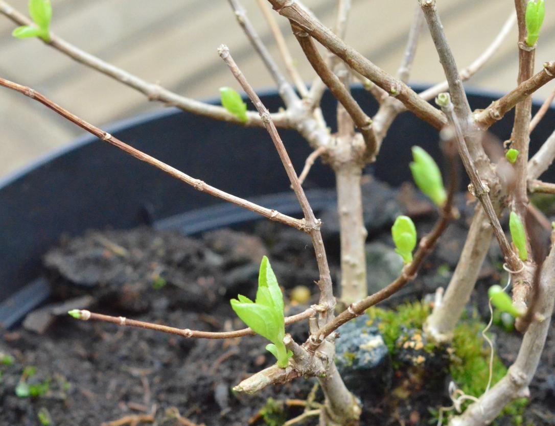 Spring buds Hydrangea Bombshell