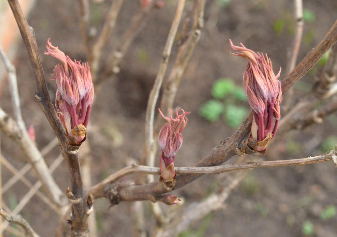 Spring buds tree peony