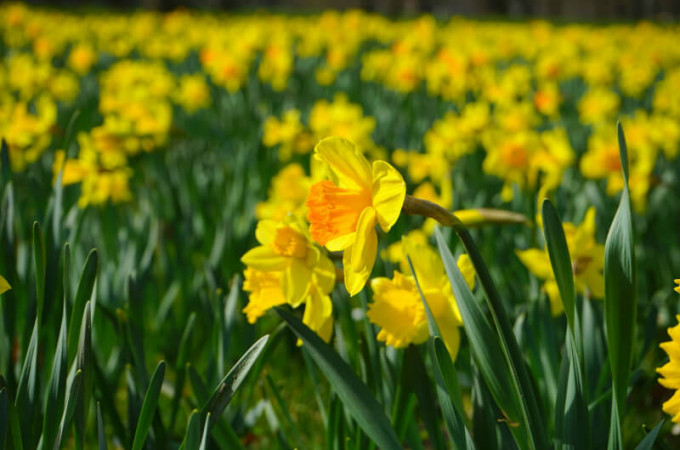 daffodils are one of the birth flowers for march