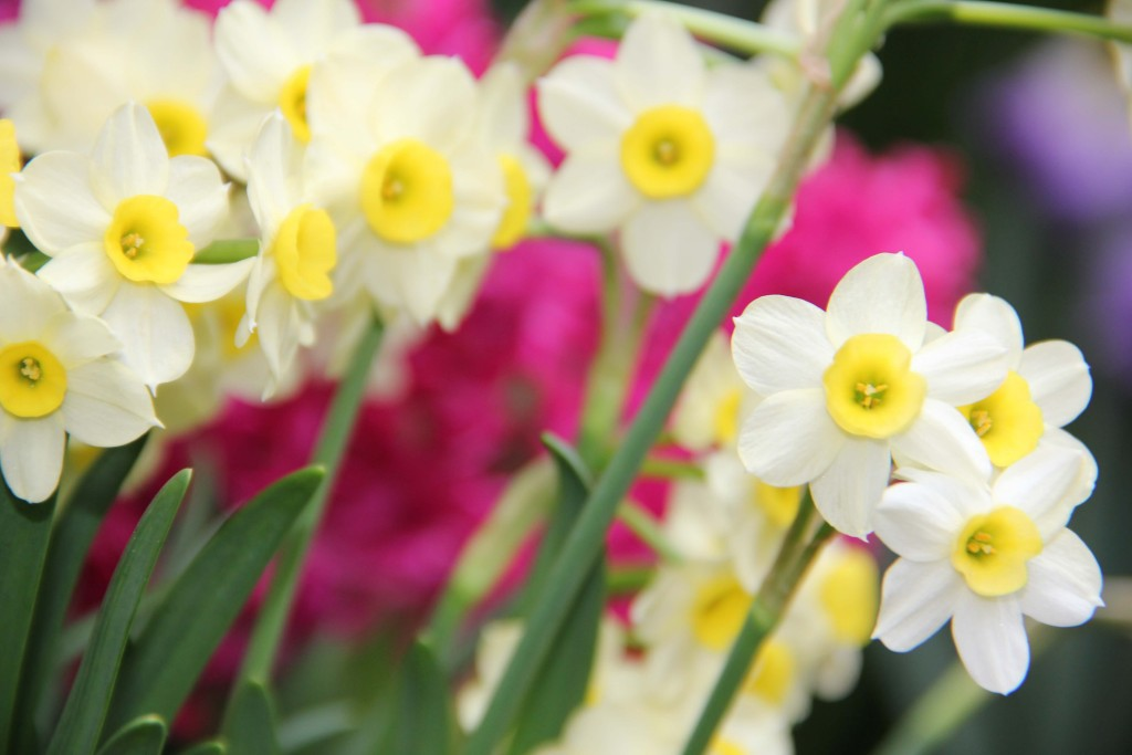 jonquils are one of the birth flowers for march