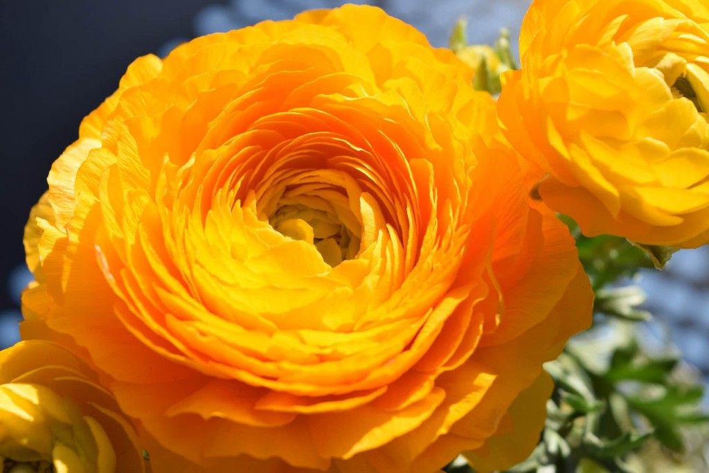ranunculus are great flower seeds to sow in march