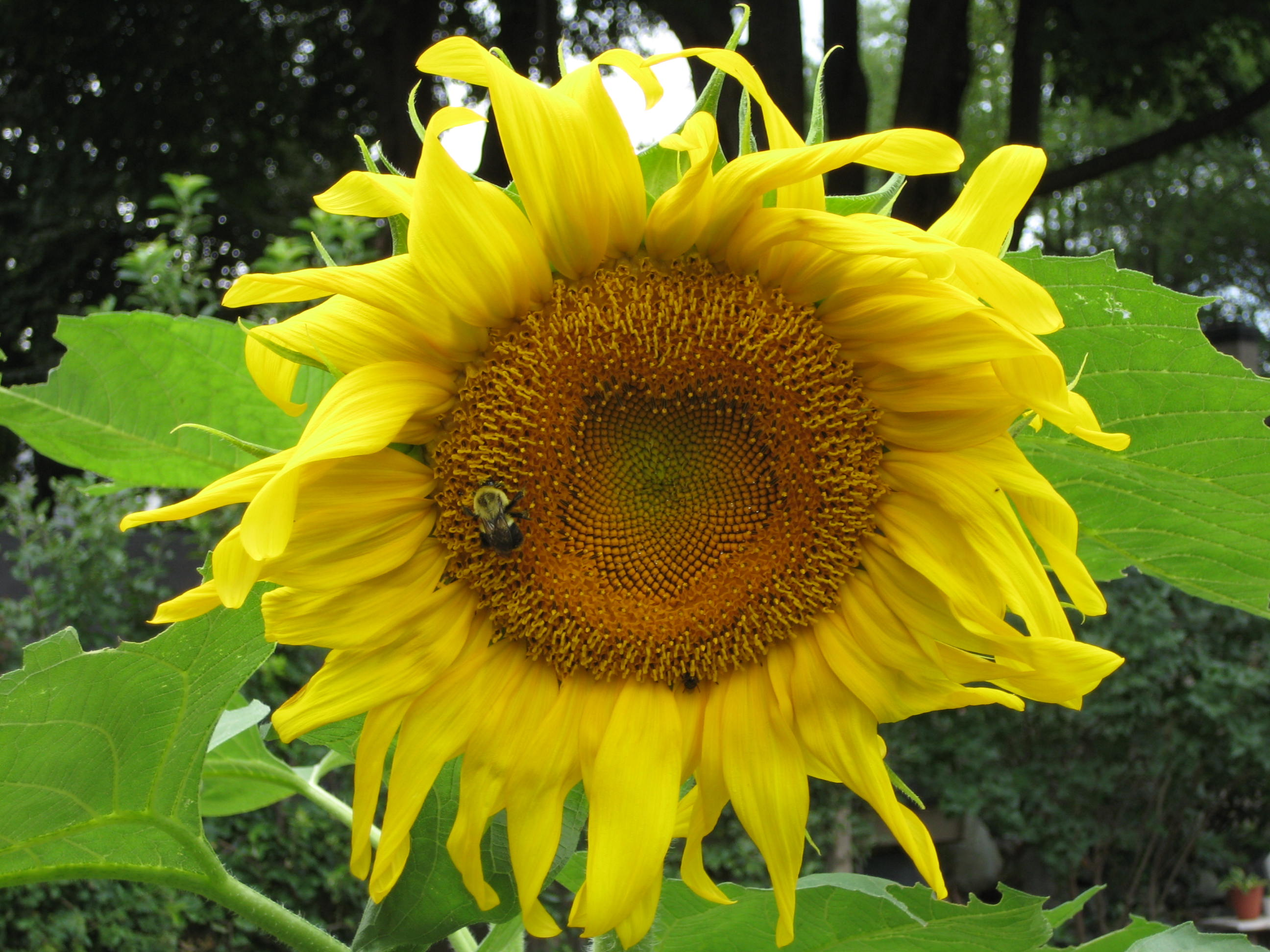 sunflower american giant