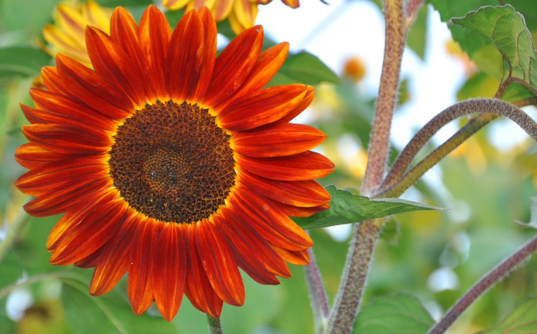 sunflower prado red