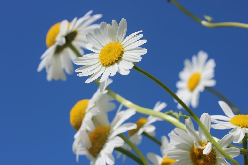 march birth flower daisies
