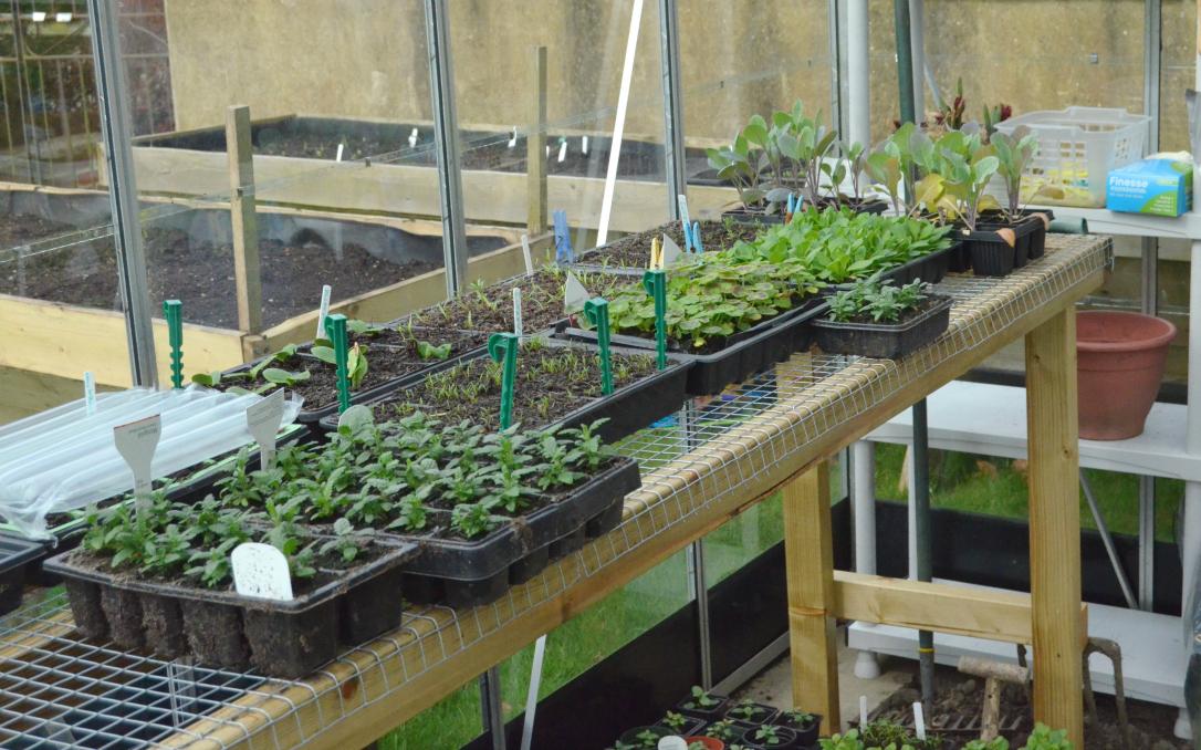 Spring greenhouse seedlings