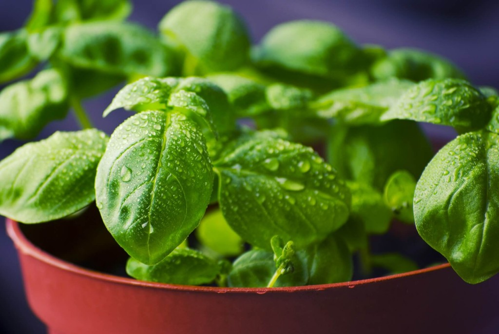 what to plant in containers in april - basil and herbs