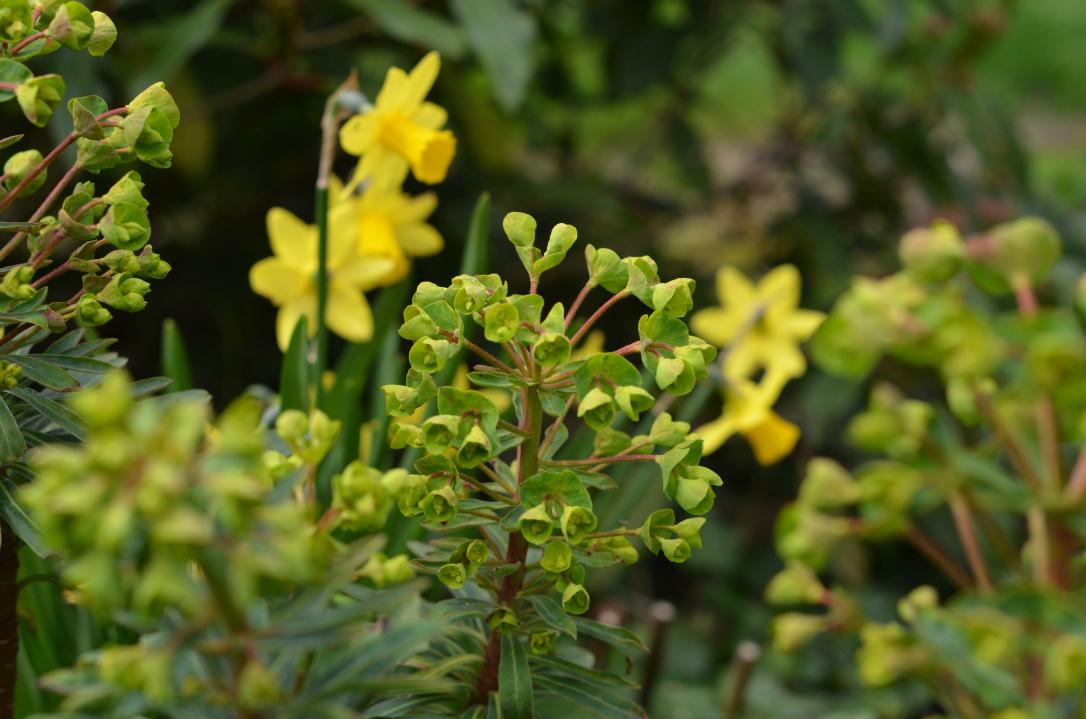 Spring Euphorbia (spurge)