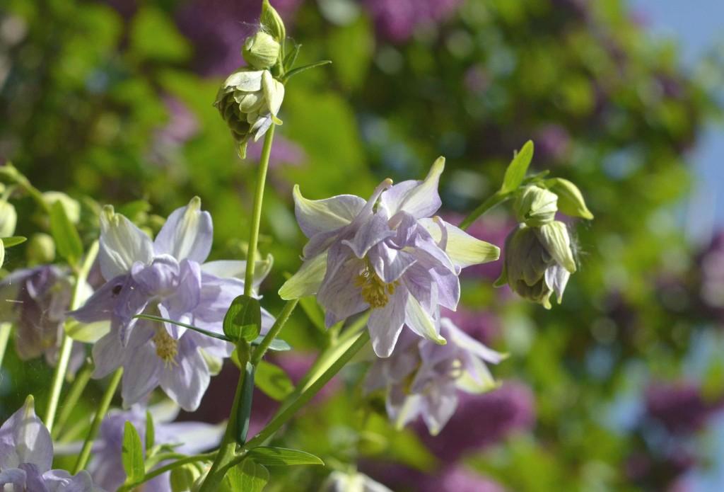 lilac aquilegia