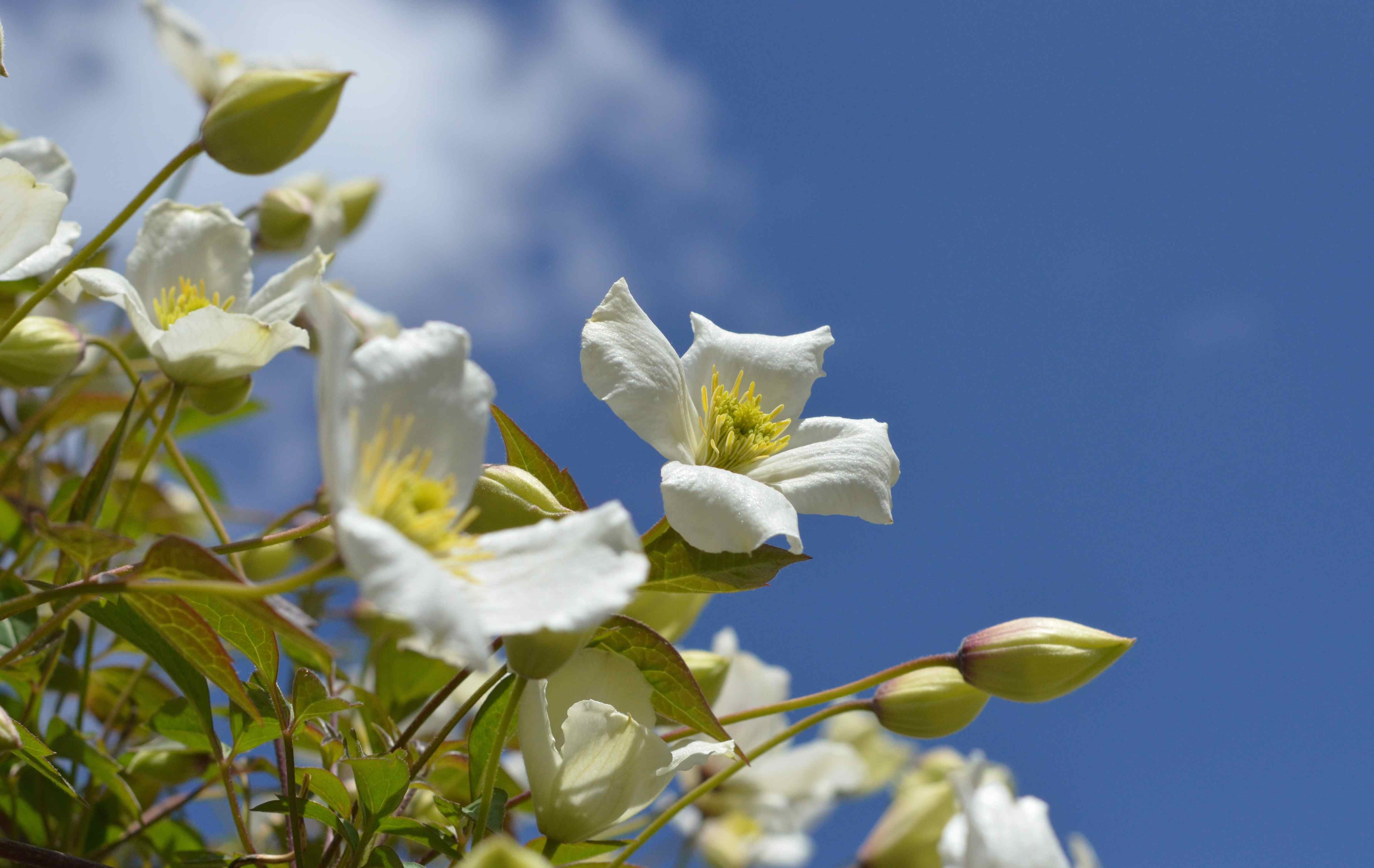 quick gardening jobs in late spring include tidying up vigorous climbing plants such as clematis