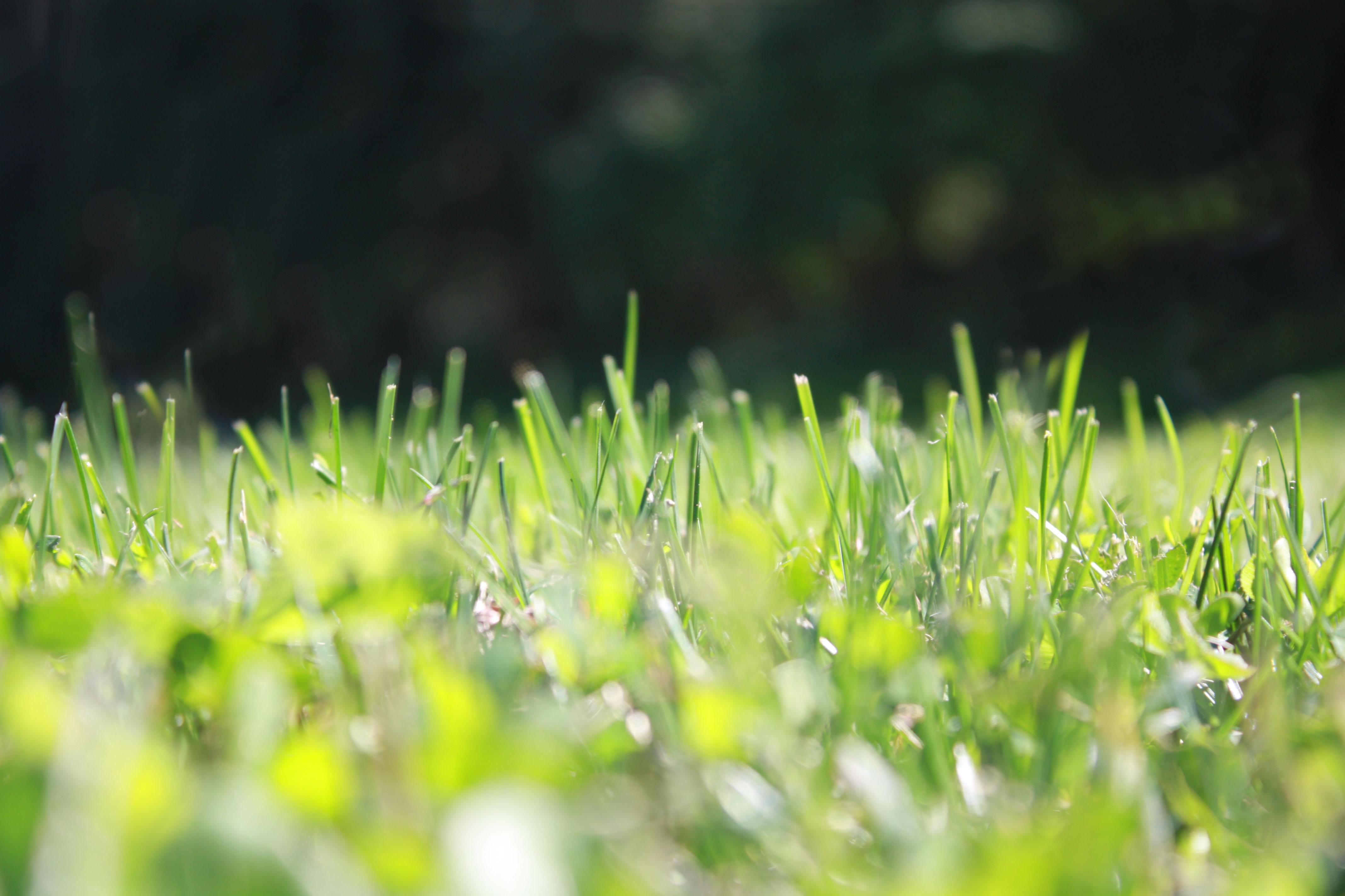 summer lawn grass