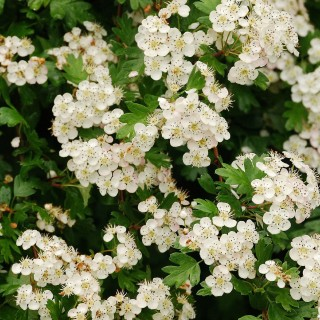 hawthorn is a birth flower for may