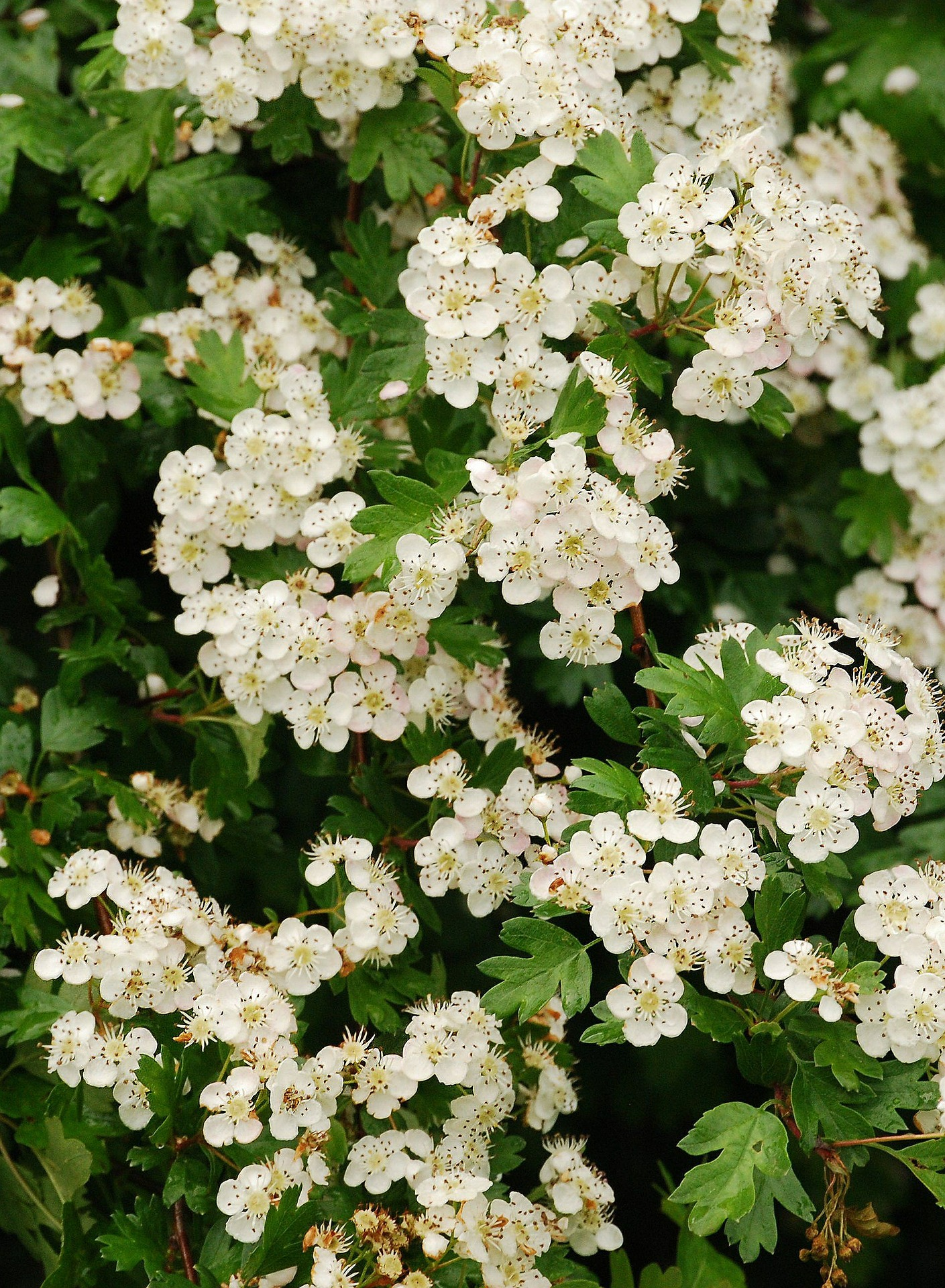 Birth Flowers May Lily Of The Valley Hawthorn Growing Family