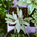 tender herbs can be grown from seed from may onwards