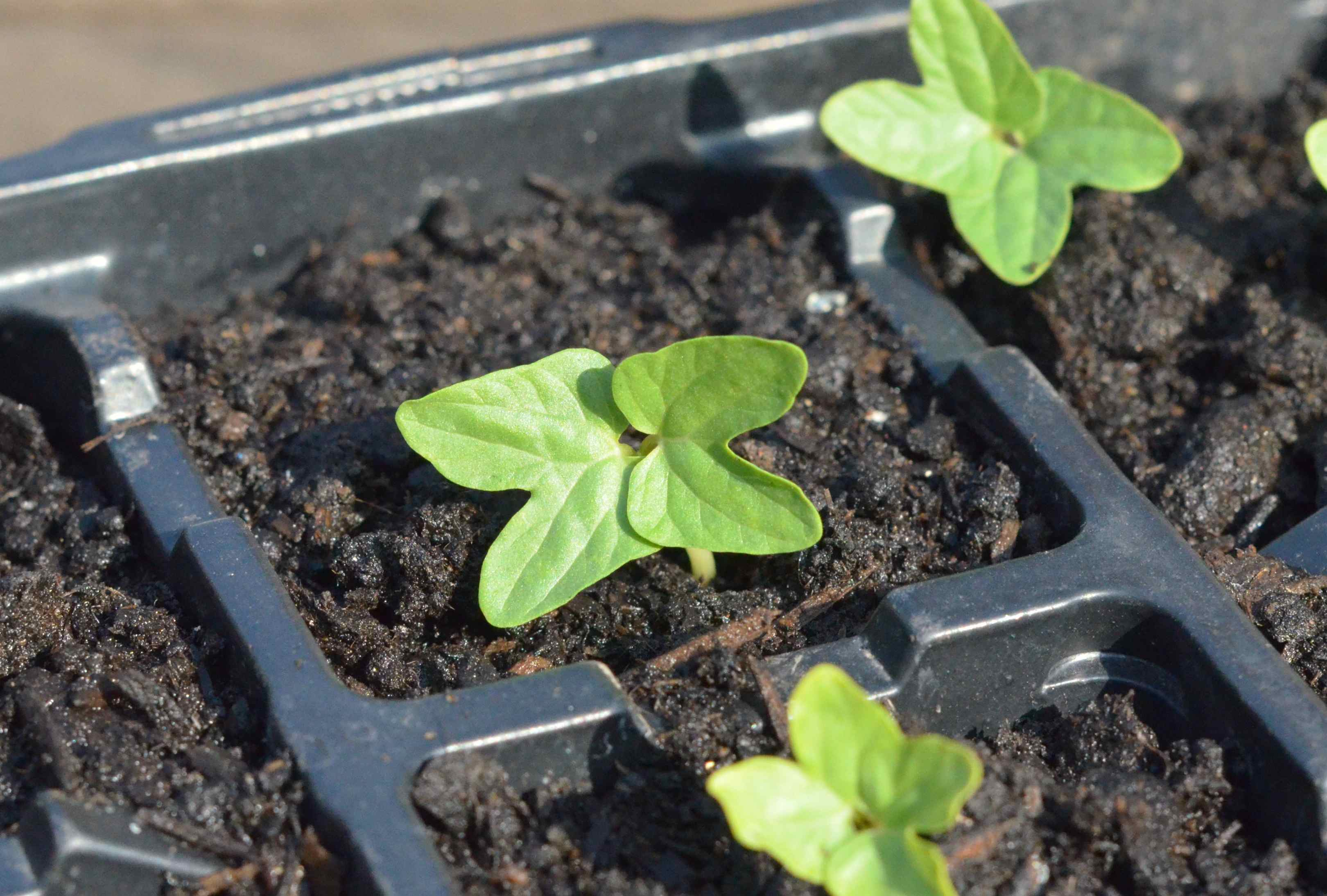 ipomoea seedling