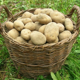 potatoes can be planted in may