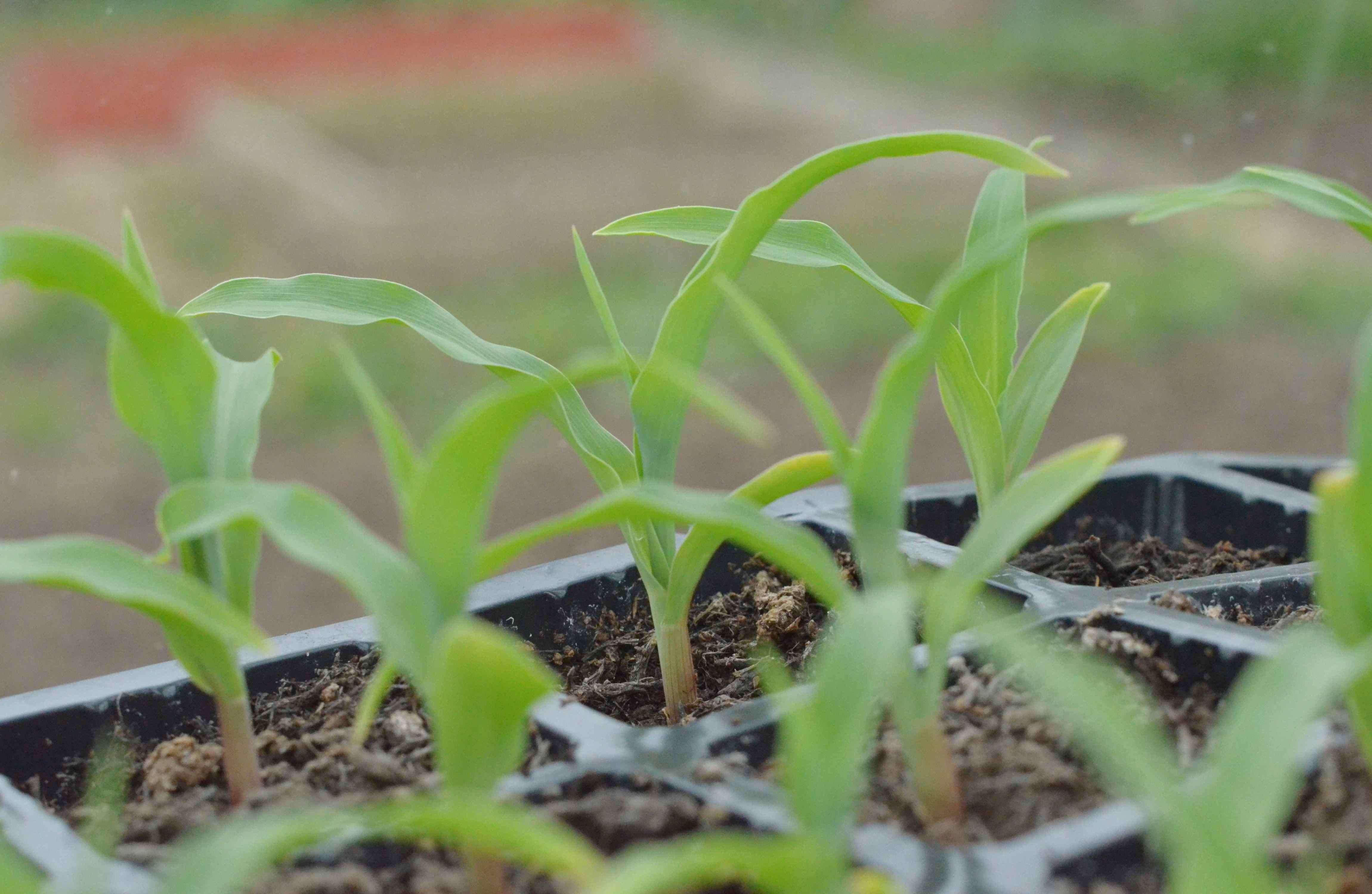 sweetcorn seedlings