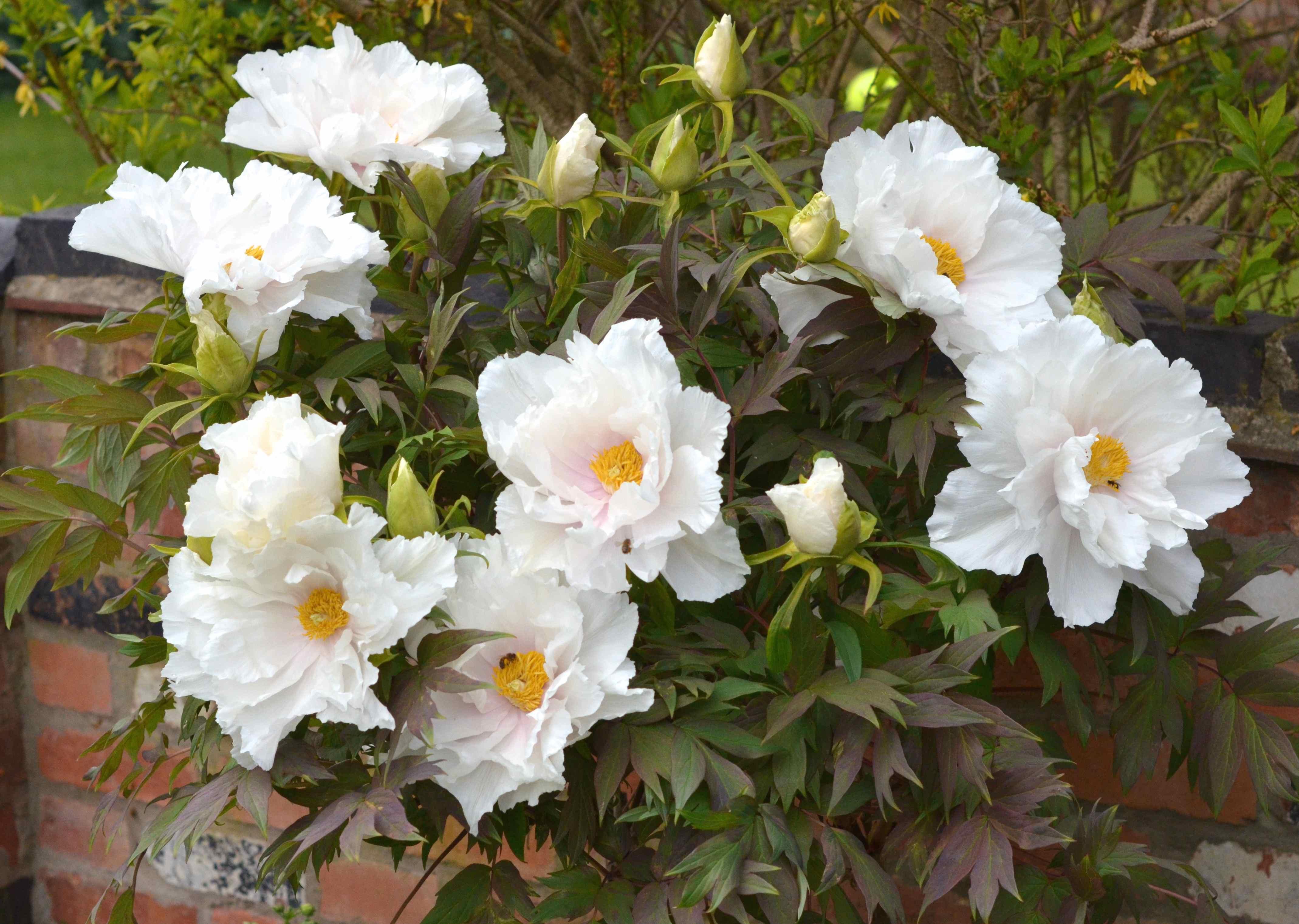 tree peony full bloom
