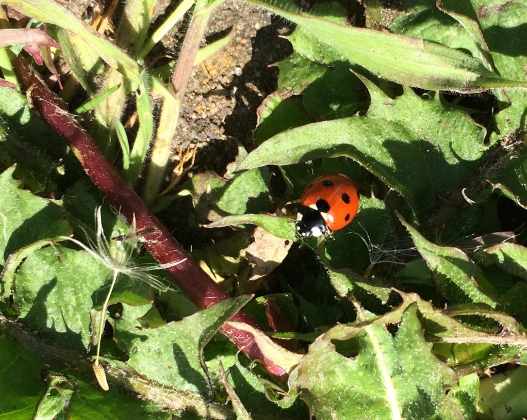 wildlife hunt ladybird