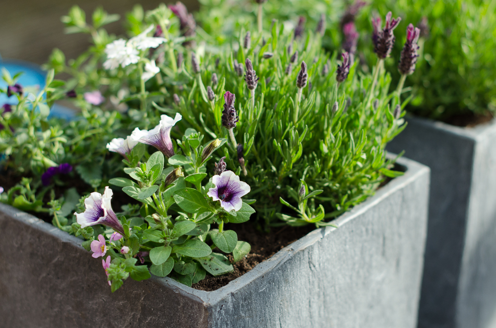 keeping garden plants in containers well fed and watered is a quick gardening job for late summer