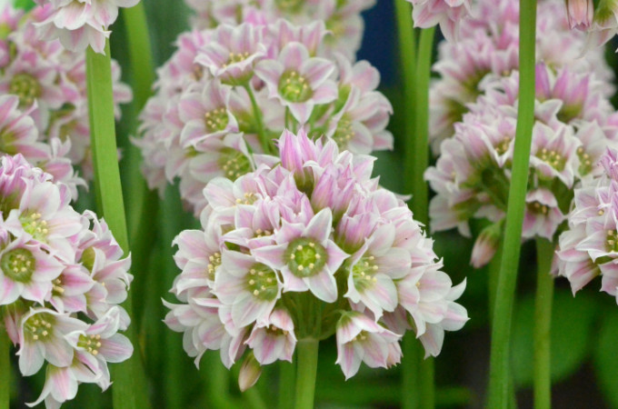 Gardeners World Live alliums