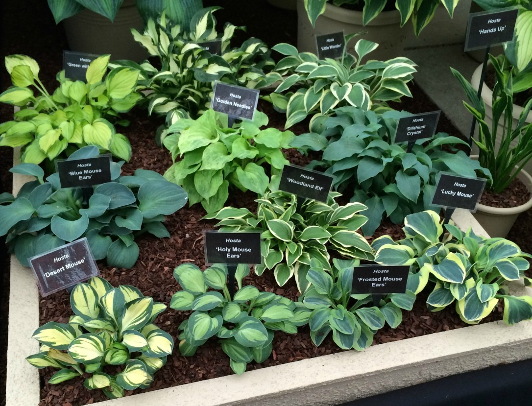 Gardeners World Live mini hostas