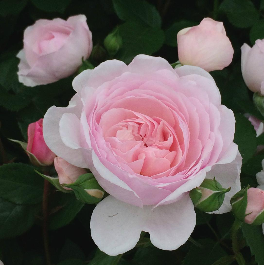 Gardeners World Live rose