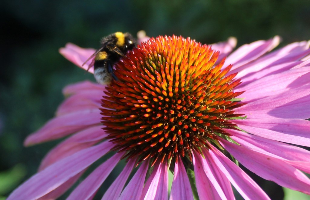 make your garden bee-friendly by growing flowers for pollinating insects