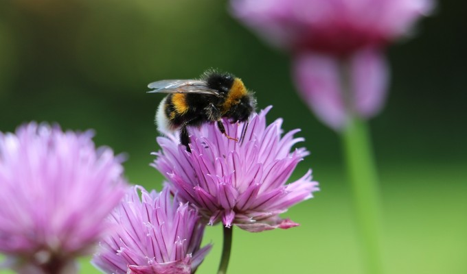 Gardening for Nature: easy ways to create a bee-friendly garden