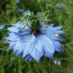 if you're sowing seeds in june nigella damascena is perfect to plant now