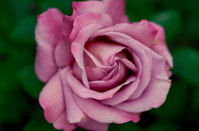 Birth flowers: June – Rose & Honeysuckle